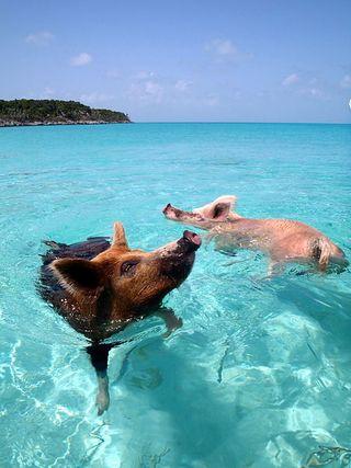 450px-Vorobek_Bahamas_-_swimming_pigs